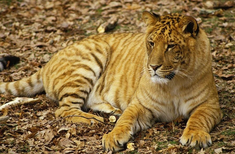 Image result for tigon